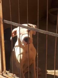 Dogo Argentino - linhagem Verdes Pampas com pedigree cbkc