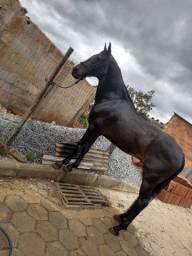 Cavalo marga larga luxo extra morfologia e andamento
