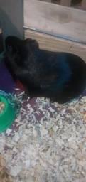 Porquinho da índia adulto preto