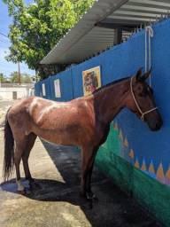 Égua rosilha registrada no definitivo Mangalarga Marchador