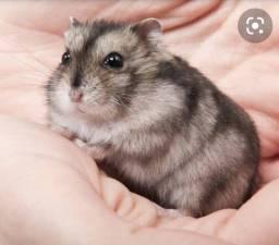 Hamster Anão Russo+Gaiola Pequena