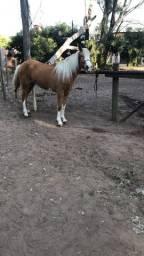 Égua mangalarga 4 anos