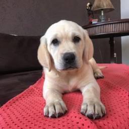 Labrador nos padrões de cores chocolate, labrador e preto, com vacina e pedigree