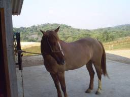 Égua Crioula Mansa