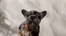 Vendo filhote de Bull dog francês