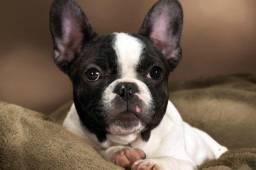 Bulldogues branco e preto