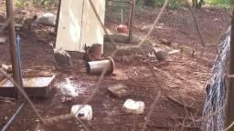 Vende-se galinha enbrava