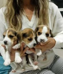 Beagles a venda