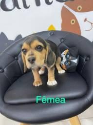 Linda Fêmea De Beagle na Promoção fotos reais