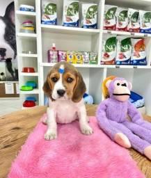 Título do anúncio: Beagle sua companheira