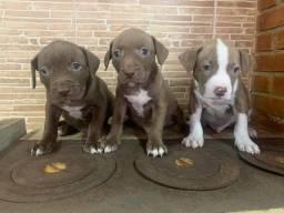 Pitbull o Pet pra sua companhia mais carinhoso!! Whats 11.991.361.019