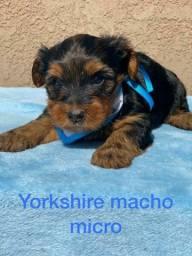 Yorkshire fofura de filhote