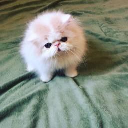 Filhotes de gato persa com pedigree