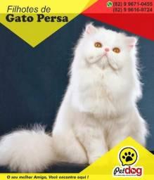 Temos um lindo filhote de Gato Persa Whats (82) 9 9671-0455 Pet Dog