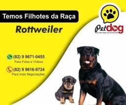Temos lindos filhotes de Rottweiler Cabeça de Touro Macho (whats - 82 9 9671-0455)
