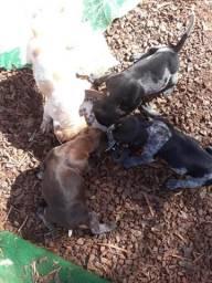 VENDE-SE cachorros da raça Perdigueiro (Braco alemão)