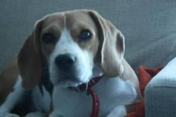 Procuro casal de beagles