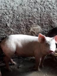 Vende-se porcos para pronta-entrega