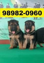 Canil Cães Pet Pastor Akita Rottweiler Labrador Golden Chow Chow Boxer