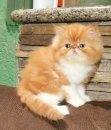 Gato Persa filhotes