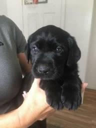 Labrador filhotinhos disponíveis entregamos em todas as regiões