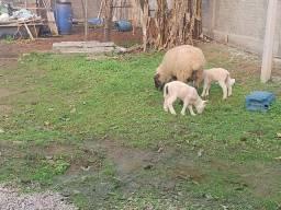 Ovelha com duas gêmeas fêmeas  900 reais