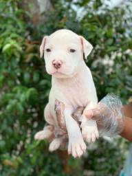 Pitbull - Filhotes de Pitbull Disponiveis
