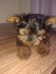 Yorkshire Terrier Top