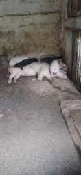 Título do anúncio: Vendo Porcos (Adultos e Filhotes)