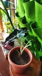 Planta flores cara de cavalo espada de são Jorge palmeira
