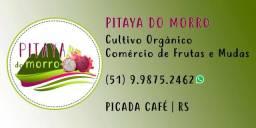 Vendo mudas de Pitaya cultivo orgânico.