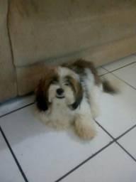 Cachorro macho lhasa apso