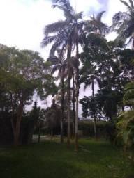 Coqueiros, palmeiras em Peruíbe