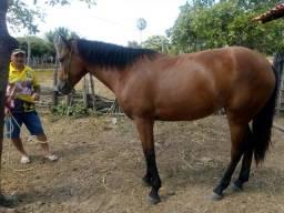 Cavalo - Parnaiba PI