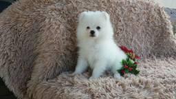 Macho lulu branco neve