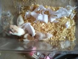 Hamster filhotes 20 reais