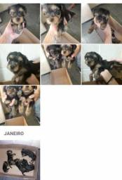 Cachorros Yorkshire com pedigree