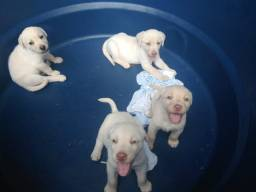 Filhotes Labrador