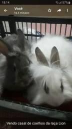 Vendo casal de coelhos da raça Lion