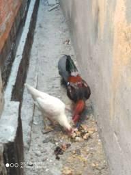 Vendo galinhas e o capote tb.