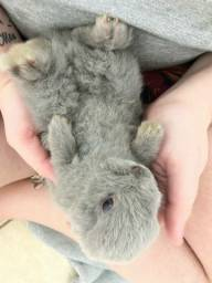 Título do anúncio: Mini Coelha