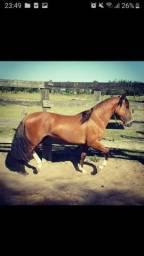 Vende-se Cavalo Crioulo Garanhão