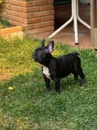Título do anúncio: Bulldog Francês (c/ pedigree)