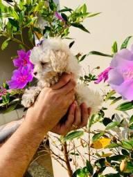Título do anúncio: Poodle toy