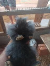Filhote coelho mini Lion