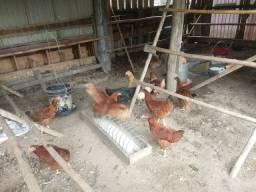 Vendo 40 galinhas!