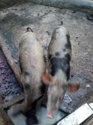 Vende-se porco 25/30KG 400 1 , 600 os 2