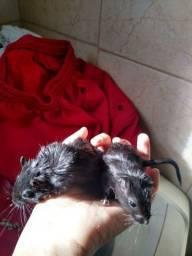 Gerbil (esquilo da mangolha)