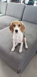 Filhote Beagle Fêmea com pedigree