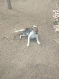 Título do anúncio: Vende se cachorro de caça